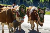 Il rito della transumanza rivive in Alpe di Siusi
