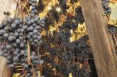 Torna 'Appassimenti Aperti' tra degustazioni e visite in cantina a Serrapetrona