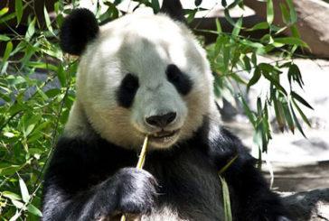 Cina, numero chiuso di turisti alla riserva dei panda in Sichuan