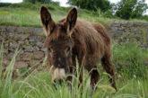 Alla scoperta del parco di Portofino a dorso di asino