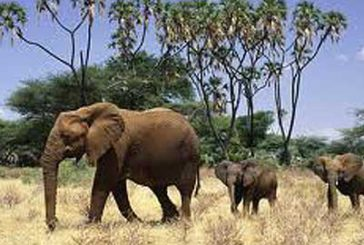 Africa, turismo danneggiato da strage elefanti