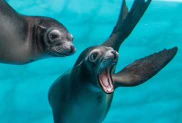 Gardaland SEA LIFE Aquarium festeggia i 2 anni dei cuccioli di Leone Marino Leo e Honey
