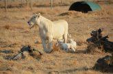 Turista Usa sbranata da leonessa in Sudafrica