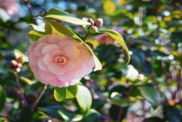 A fine aprile la 1^ edizione del 'Merano Flower Festival'