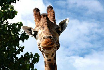 Il Parco Zoo Falconara alla Bit tra okapi, giraffe e saki