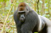 Con WWF Travel in Repubblica Centrafricana tra gorilla, elefanti e bufali rossi