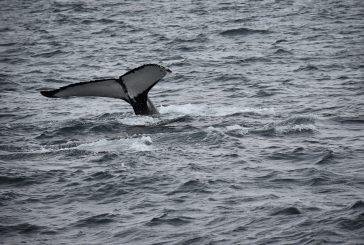 Avvistatore di cetacei , nuovo lavoro messo a punto dalla Regione Liguria