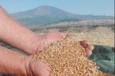 A Montalbano per conoscere i grani antichi con i laboratori di Simenza