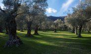 'Camminata tra gli olivi', 124 le città dell'olio protagoniste della 3^ edizione